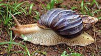 parasite-contaminates-florida-snails